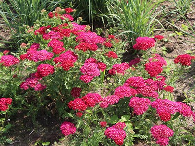 Achillea Pomegranate 1