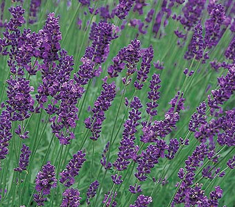 Lavender, Munstead Strain