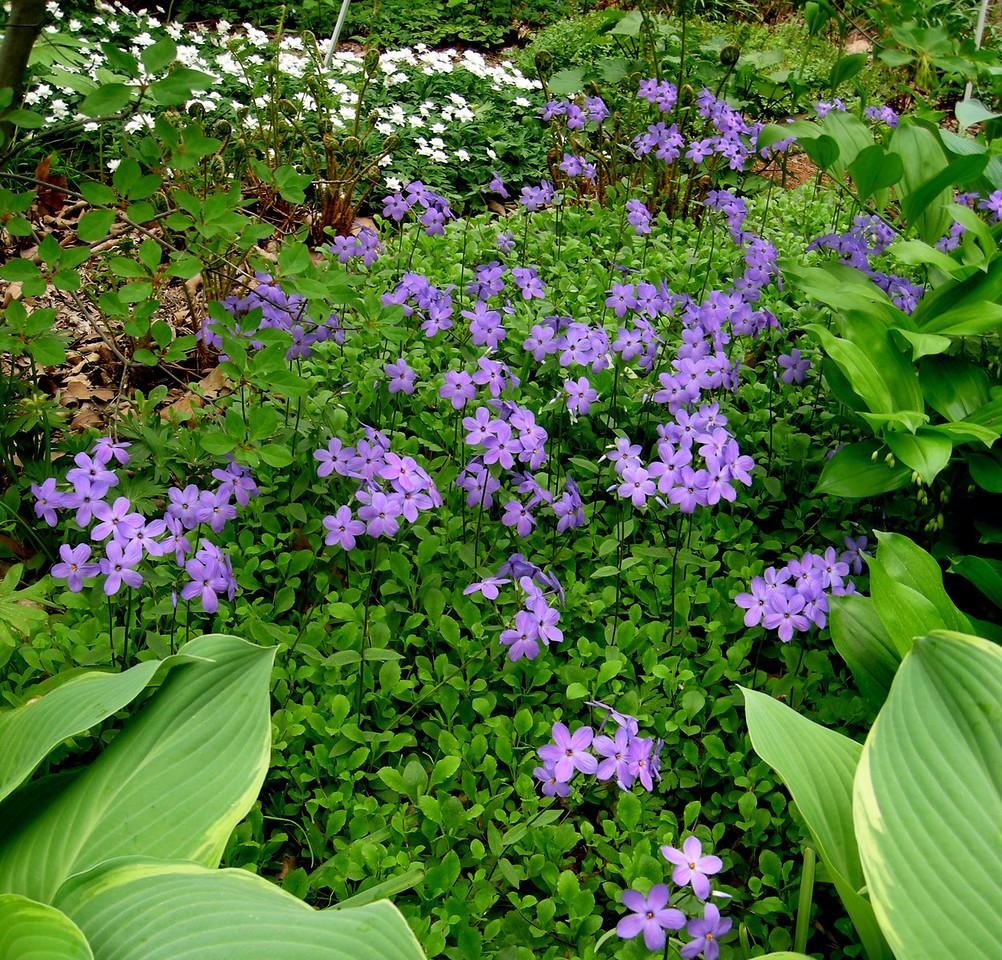 Phlox stolonifera 'Sherwood Purple'