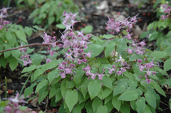 Epimedium grandiflorum Lilafee 1