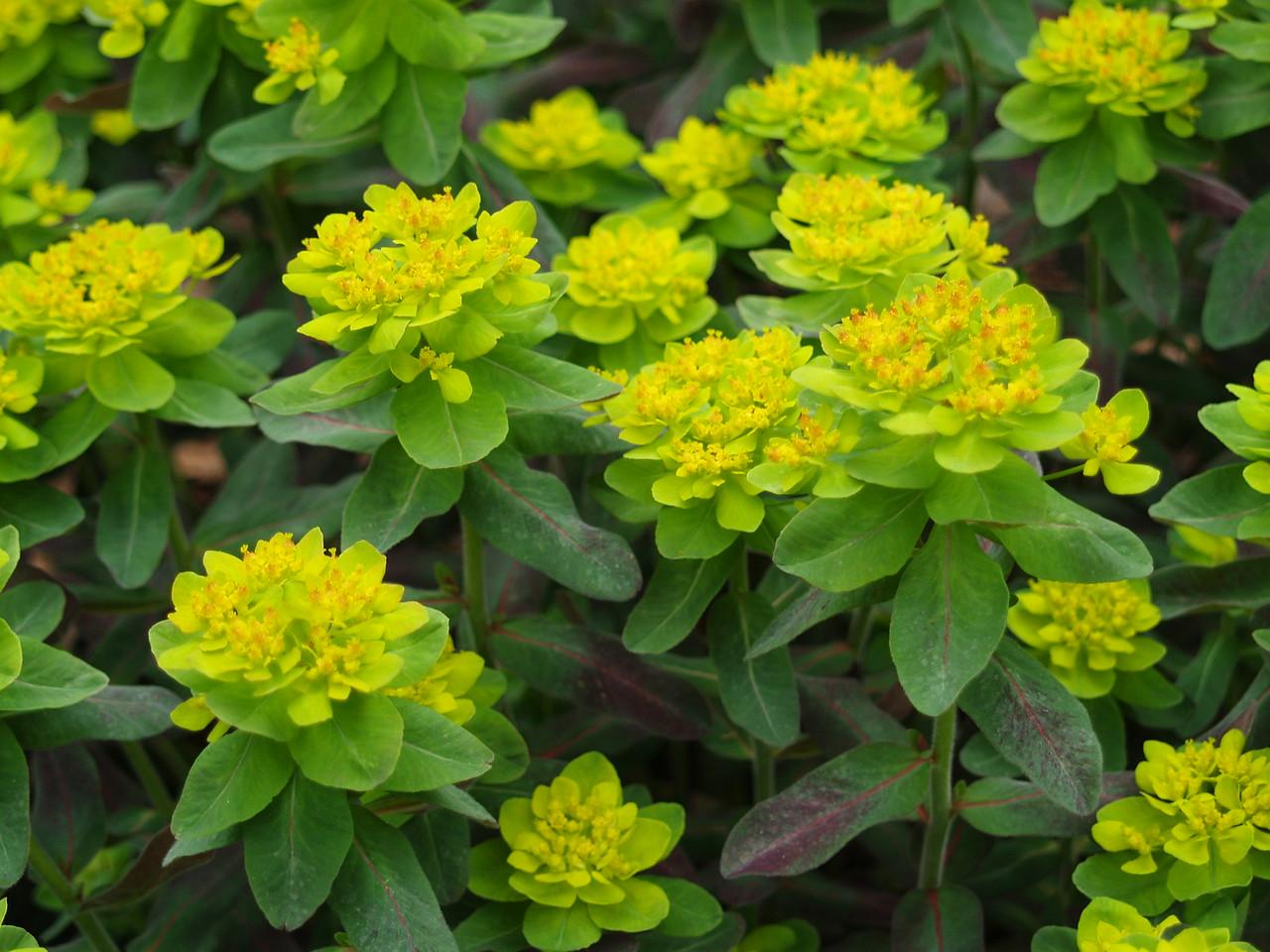 Euphorbia polychroma Bonfire