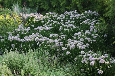 Allium Summer Peek a
