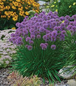 Allium Millenium 1