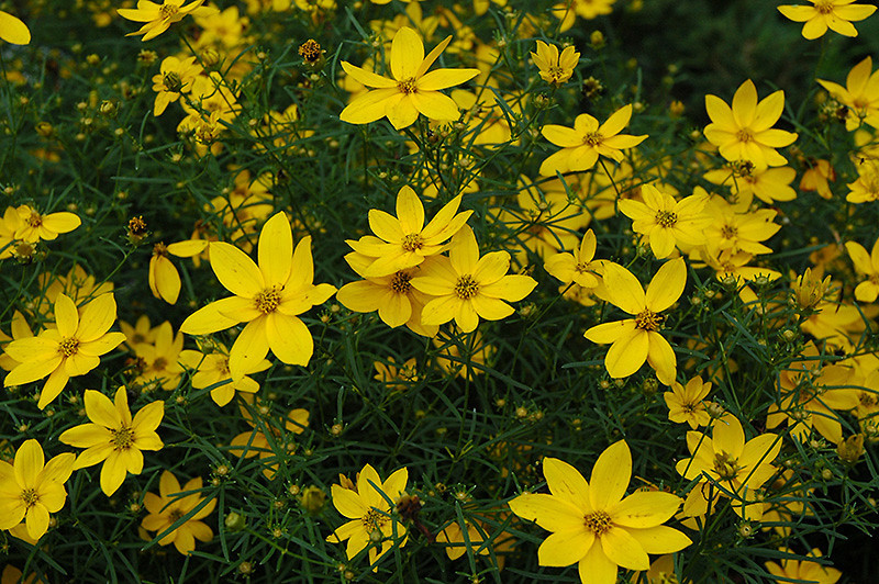 Coreopsis Golden Showers 2