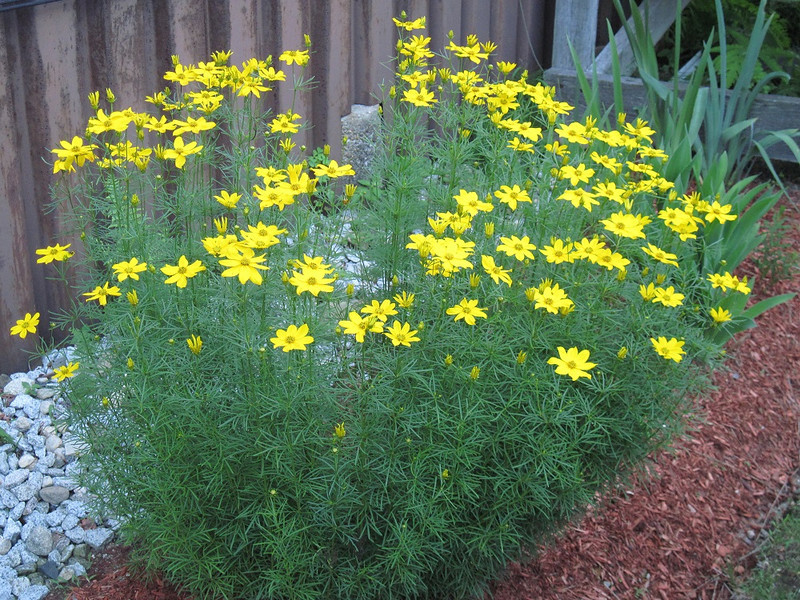 Coreopsis Golden Showers 1