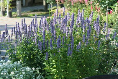 Agastache Blue Fortune 3