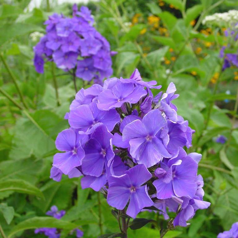 Phlox 'Blue Paradise' 2