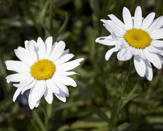 Shasta Daisy, Leucanthemum x superbum Becky