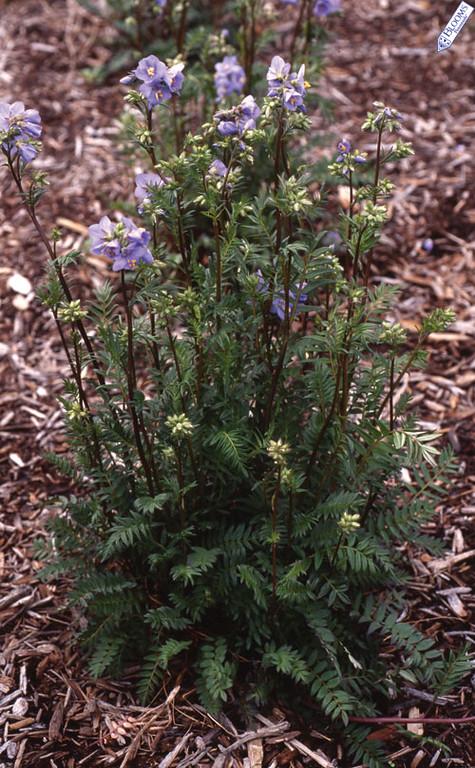 Polemonium Bressingham Purple 1