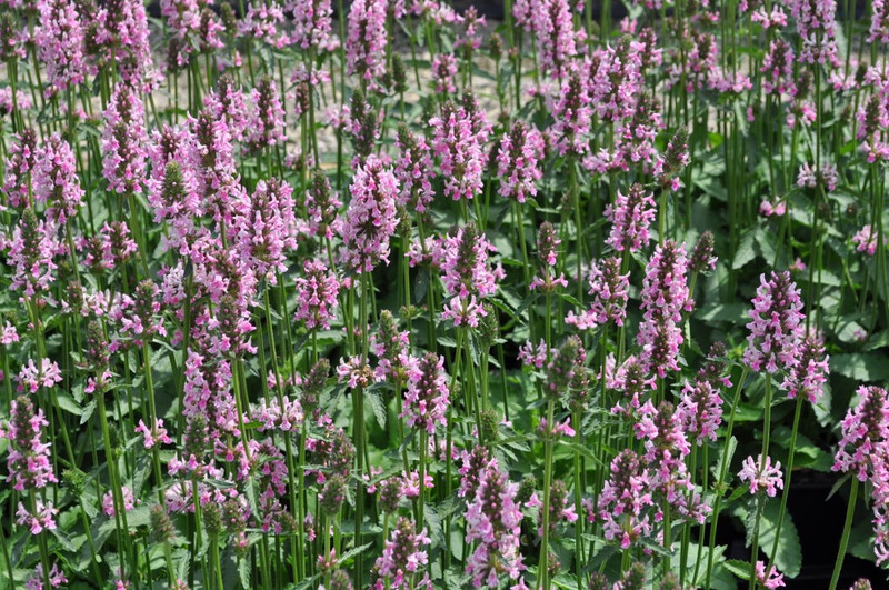 Stachys Pink Cotton Candy 2