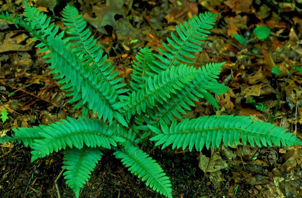 Christmas fern 1