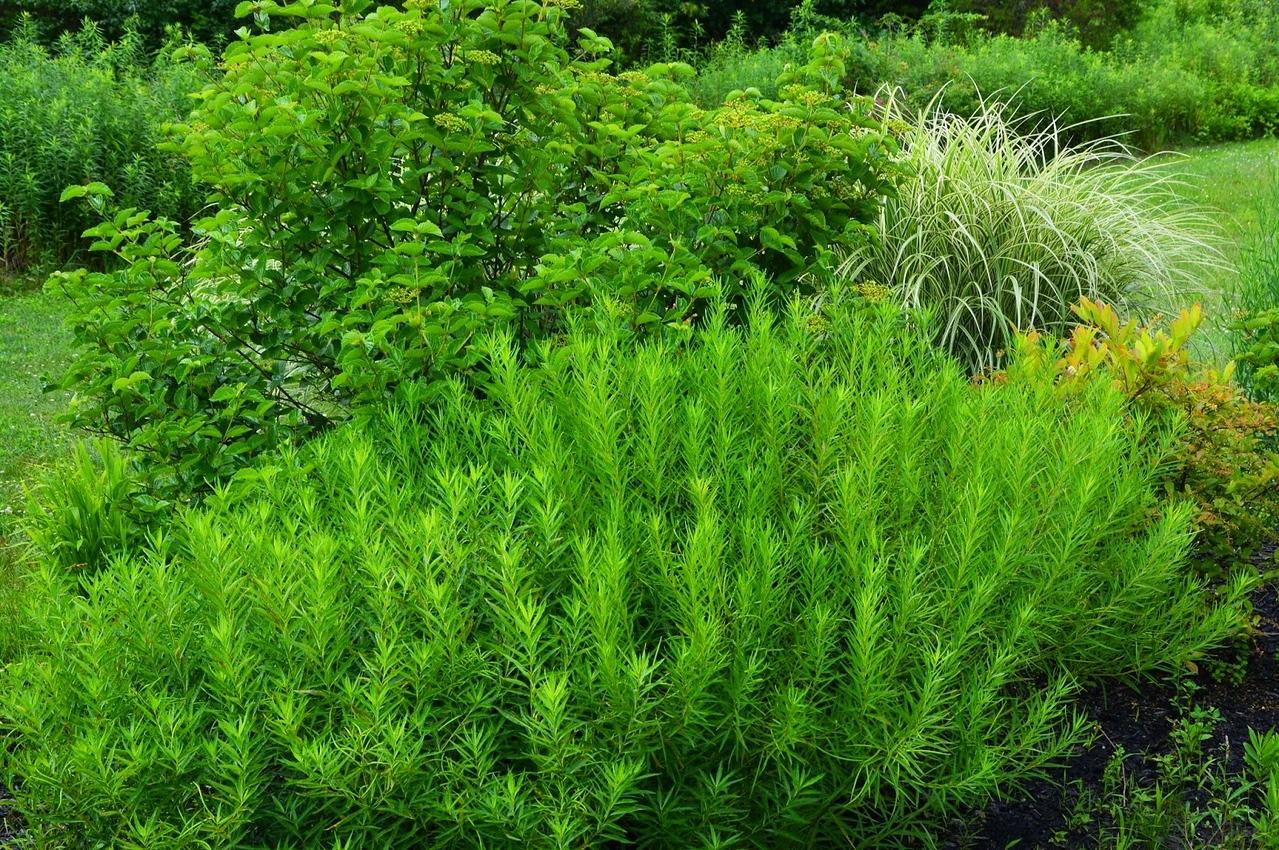 Amsonia tabernaemontana - Willow Amsonia 1