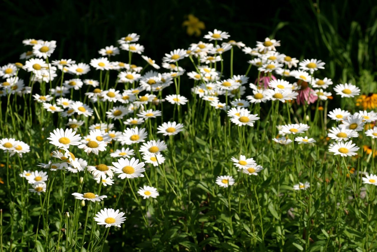 Leucanthemum 'Becky' (Shasta Daisy) -2