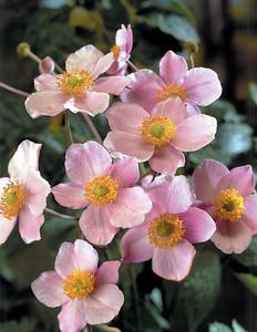 Anemone Robustissima 3