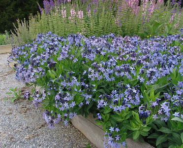 Amsonia Blue Ice 2