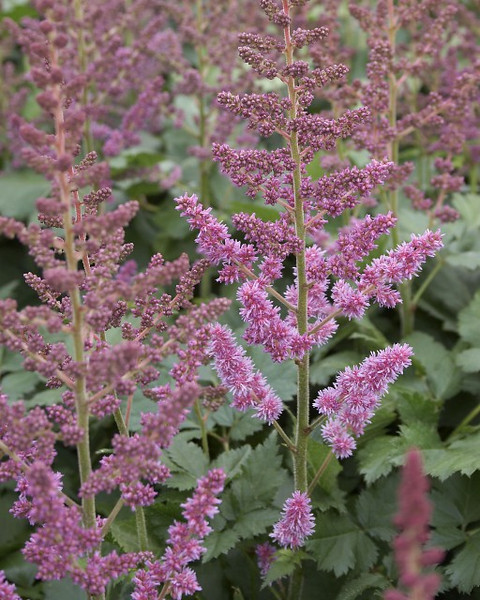 Astilbe chinensis Visions