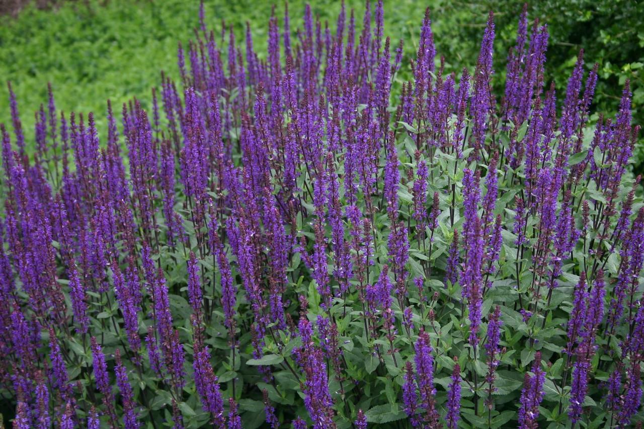 Salvia Carodonna 1