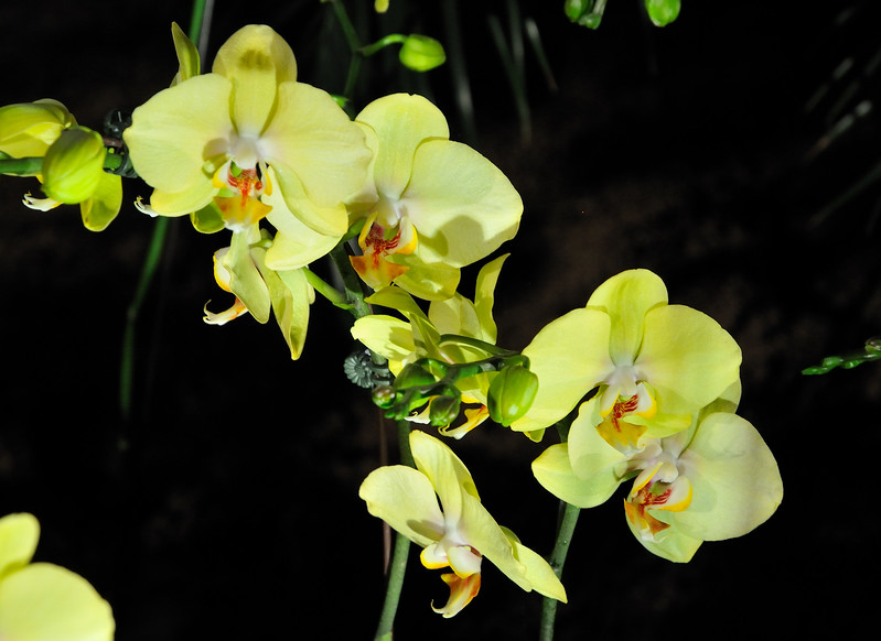Yellow orchids - 2010 Philadelphia Flower Show