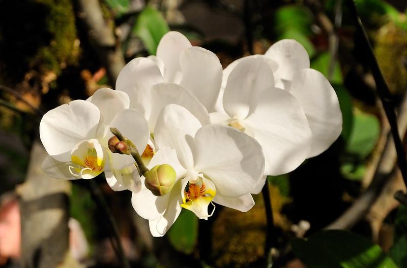 White orchids - 2010 Philadelphia Flower Show