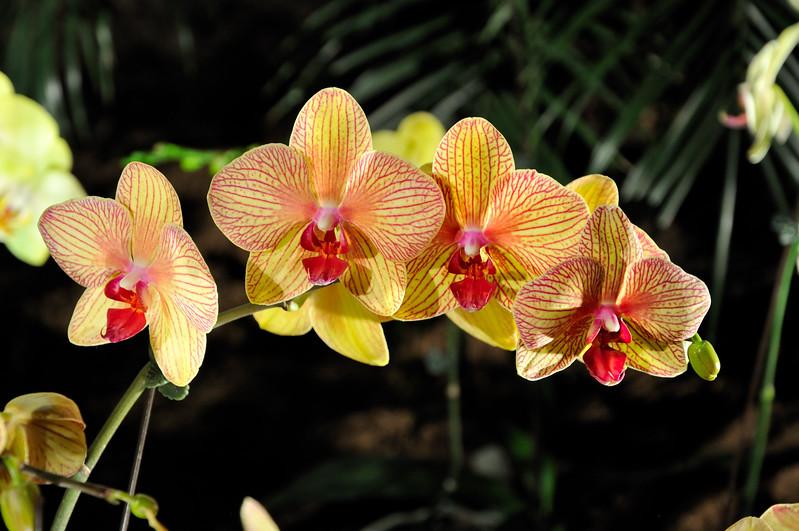 Yellow orchids - 2010 Philadelphia Flower Show