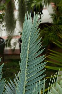 20130606-IMG_5090 Encephalartos Princeps