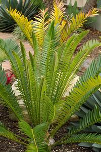 20130606-IMG_5099 Encephalartos Altenstenii