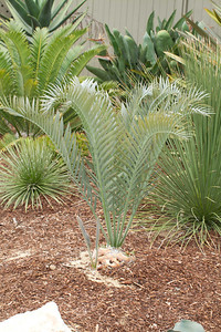 20130606-IMG_5106 Encephalartos Lehmannii with a small offshot.