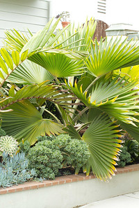20130606-IMG_5096 Fan palm, pritchardia hillebrandii