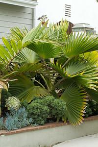 20130606-IMG_5097 Fan palm, pritchardia hillebrandii