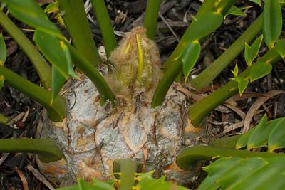20130606-IMG_5081 Encephalartos Horridus x Woodii hybrid flushing new leaves.