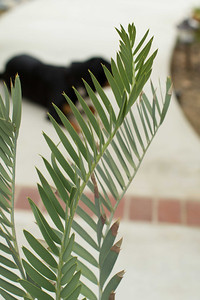 20130606-IMG_5088 Encephalartos Eugene Maraisii flushing new leaves.