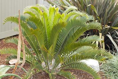20130606-IMG_5109 Encephalartos Longifolius