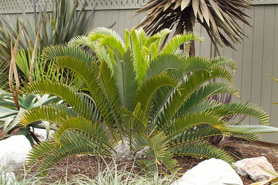 20130606-IMG_5107 Encephalartos Longifolius with new flush