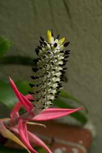 20130606-IMG_5075 Bromeliad inflorescence on it's final blooms. Each of the black nodes once was a yellow blossom, with the blossoms opening at the bottom first and working their way up sequentially.  Quite the showy inflorescence with the pink stalk opening first, then a white top piece resembling corn popping out and then each of the kernels opening in the yellow blossoms and the dead blossoms turning such a rich black against the white of the inflorescence stalk.  Definitely a keeper bromeliad!