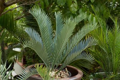 20130606-IMG_5089 Encephalartos Princeps