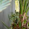 Rhyncholaelia (Brassavola) digbyana