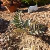 Encephalartos arenarius x latifrons