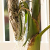 Coilostylis falcata, formerly Epidendrum falcatum