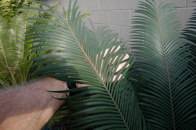 Cycas thouarsii size and color