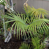 Zamia standleyi among orchids and other cycads