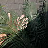 Cycas thouarsii leaflet size and color