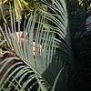 Cycas thouarsii x cupids leaflet size