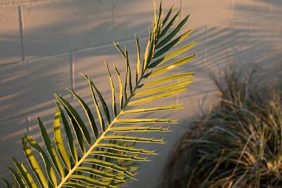 Encephalartos whitlockii x sclavoi