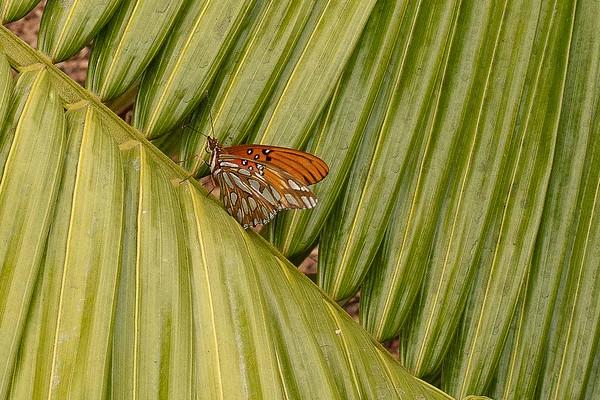 Dypsis mahajonga planted and butterfly 9/19/2016