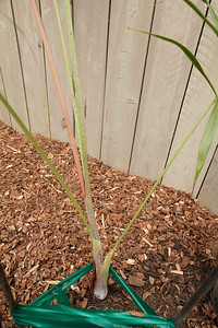 Dypsis mahajonga stem.  Freshly planted from a 1 gallon pot.