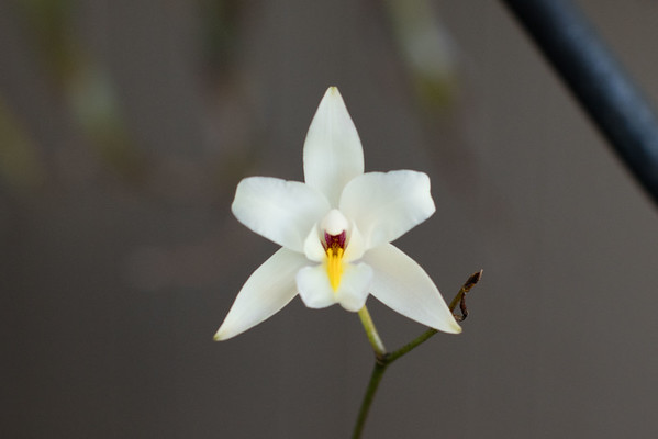 Encpehalartos laurentianus and Orchids 11-18-2016
