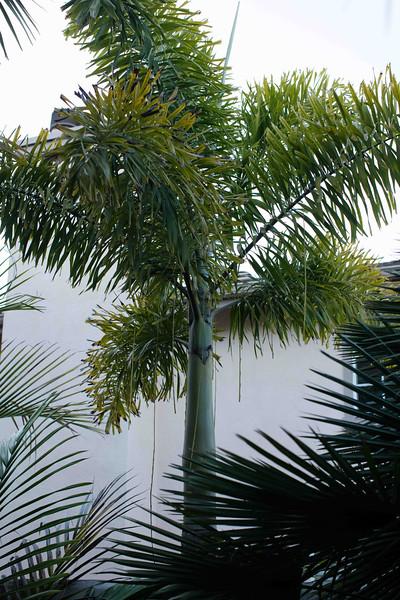 Foxtail Palm - Woodyetia bifurcata in Carlsbad garden 5/09/2016