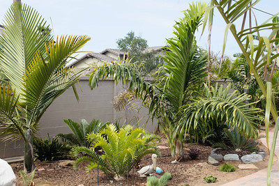 Palms and cycads in back yard