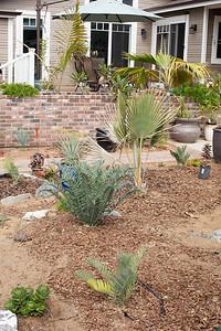 Encephalartos horridus with garden behind