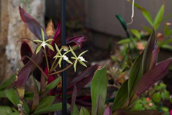 Orchids blooming and cycads flushing, its Spring 5/02/2016
